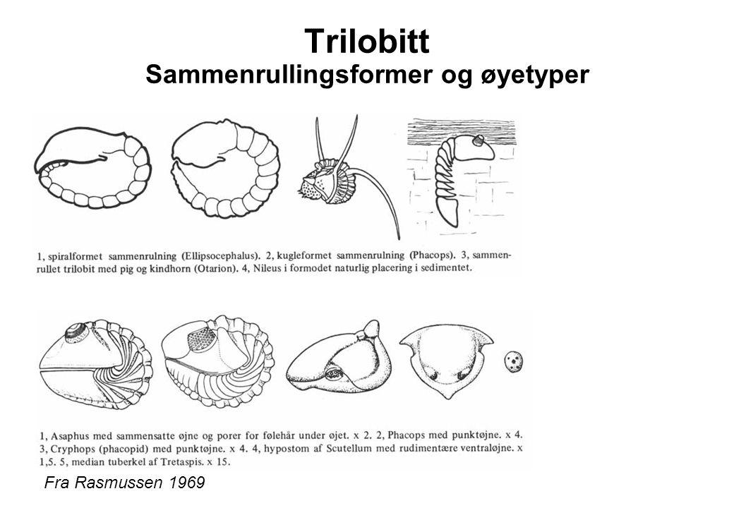 Trilobitt Sammenrullingsformer og øyetyper