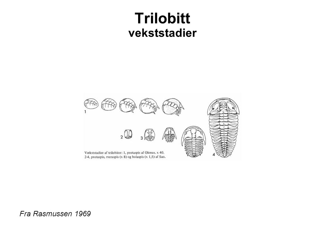 Trilobitt vekststadier