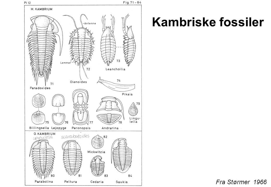 Kambriske fossiler Fra Størmer 1966