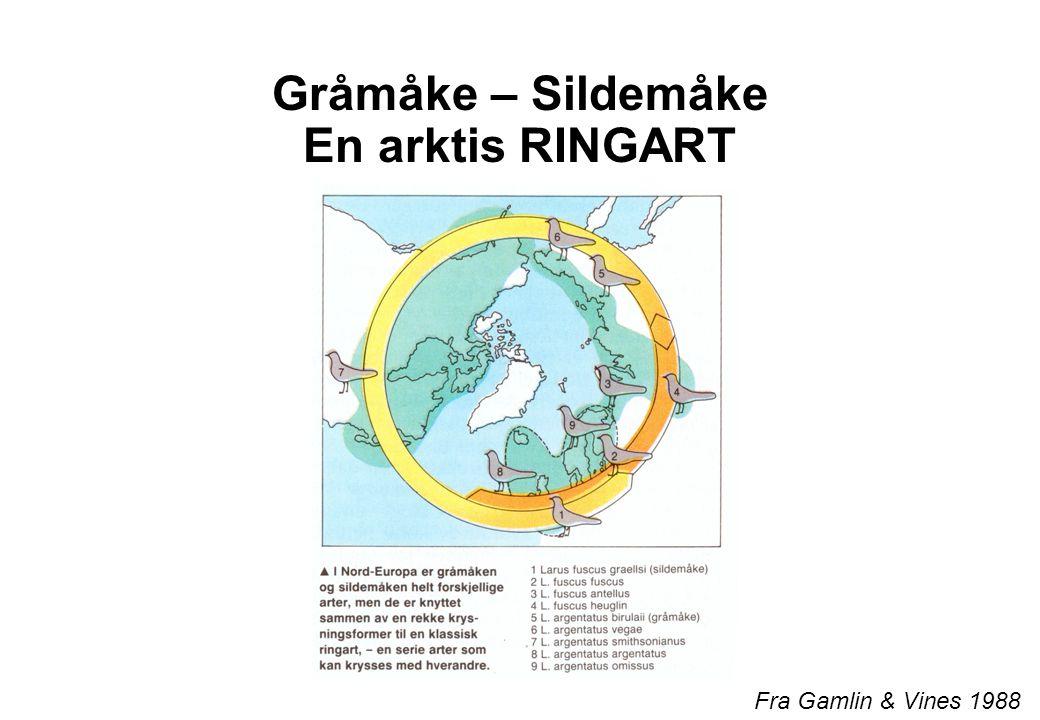 Gråmåke – Sildemåke En arktis RINGART