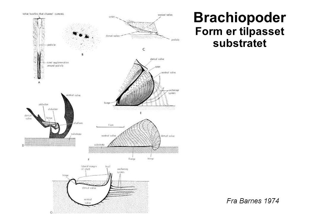 Brachiopoder Form er tilpasset substratet
