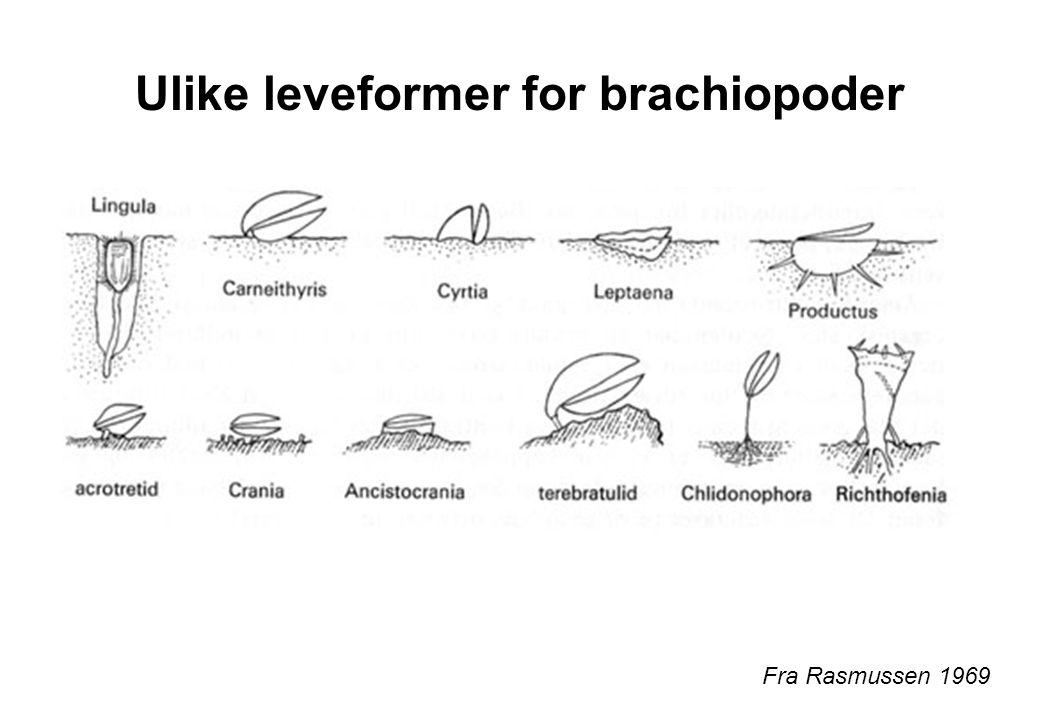 Ulike leveformer for brachiopoder