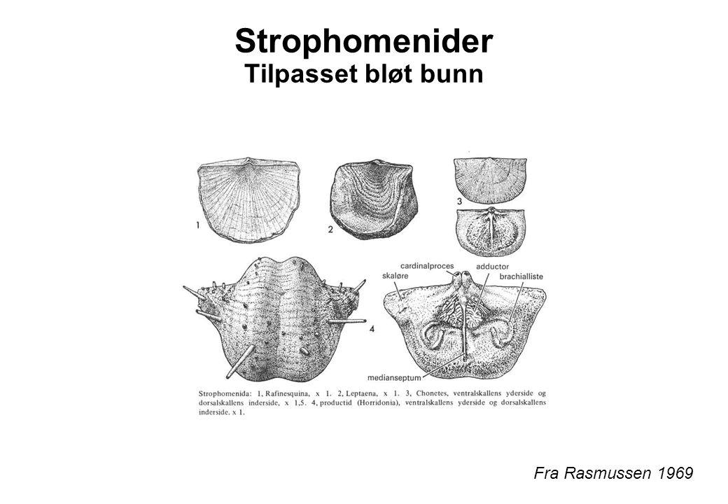 Strophomenider Tilpasset bløt bunn