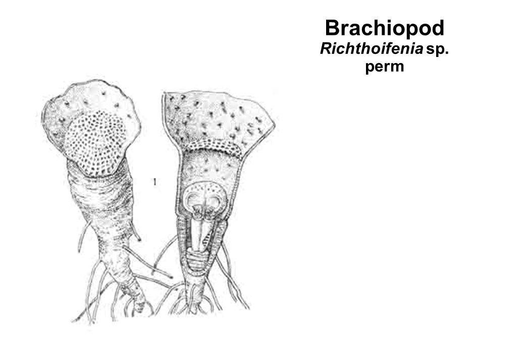 Brachiopod Richthoifenia sp. perm