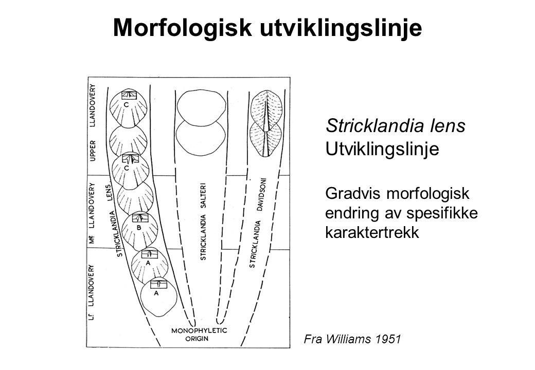 Morfologisk utviklingslinje