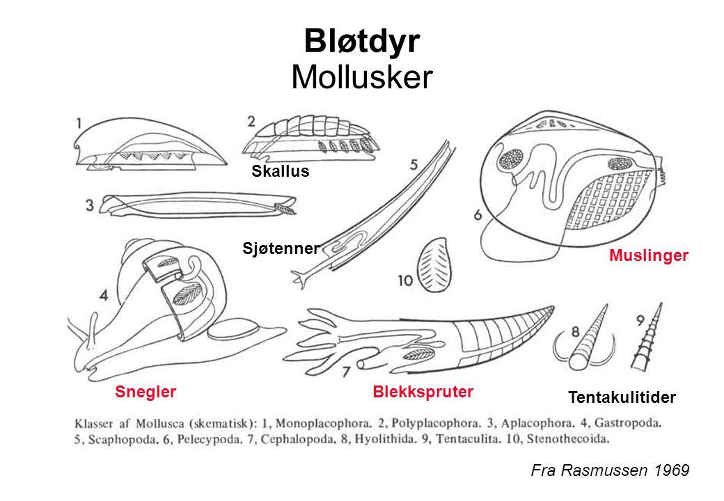 Bløtdyr Mollusker Skallus Sjøtenner Muslinger Snegler Blekkspruter