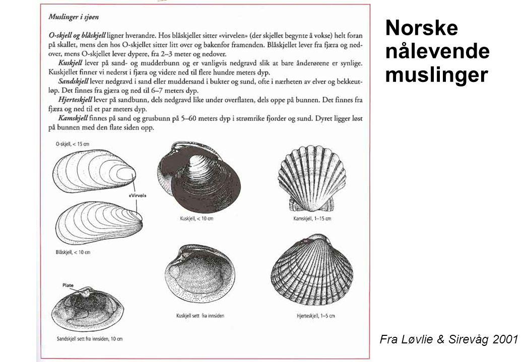Norske nålevende muslinger
