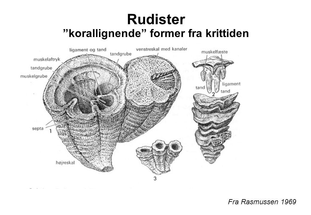 Rudister korallignende former fra krittiden