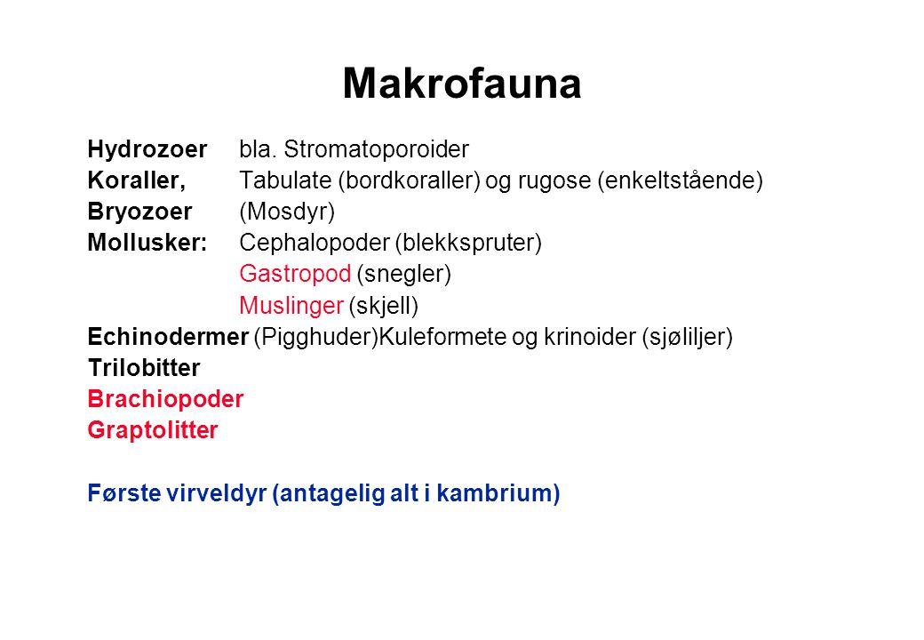 Makrofauna Hydrozoer bla. Stromatoporoider