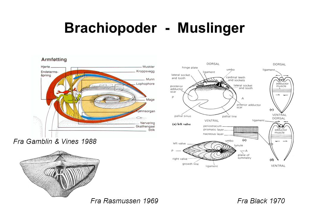 Brachiopoder - Muslinger