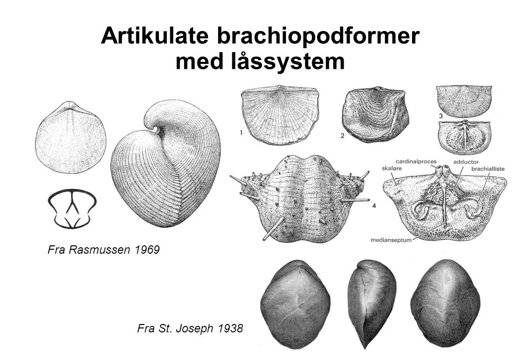 Artikulate brachiopodformer med låssystem