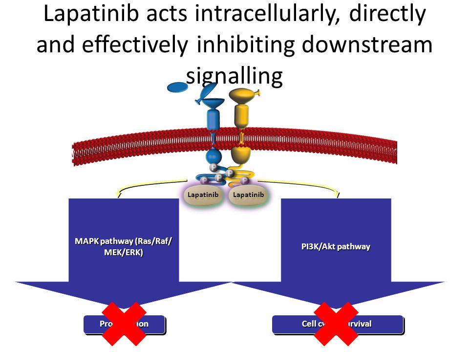 MAPK pathway (Ras/Raf/ MEK/ERK) MAPK pathway (Ras/Raf/ MEK/ERK)