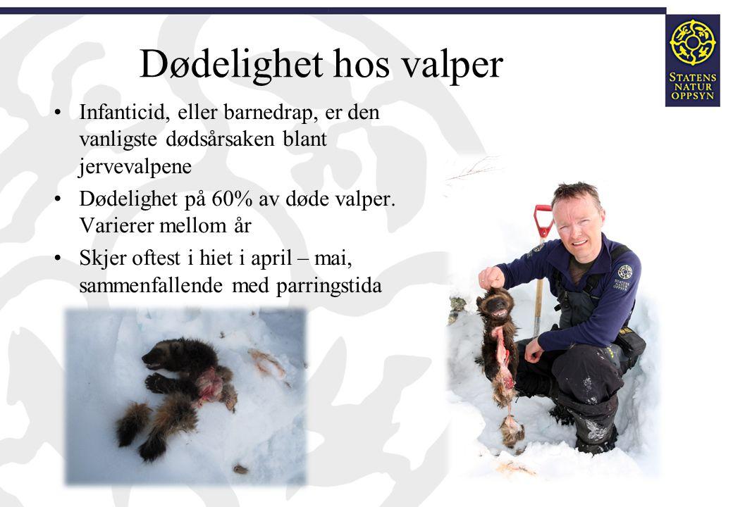 Dødelighet hos valper Infanticid, eller barnedrap, er den vanligste dødsårsaken blant jervevalpene.