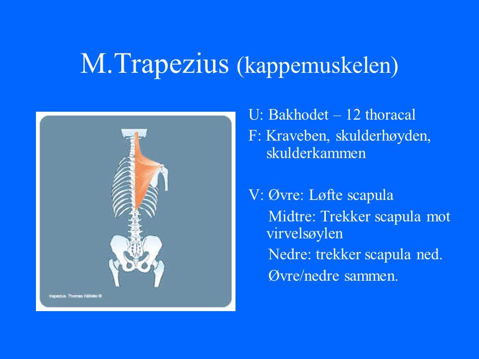 M.Trapezius (kappemuskelen)