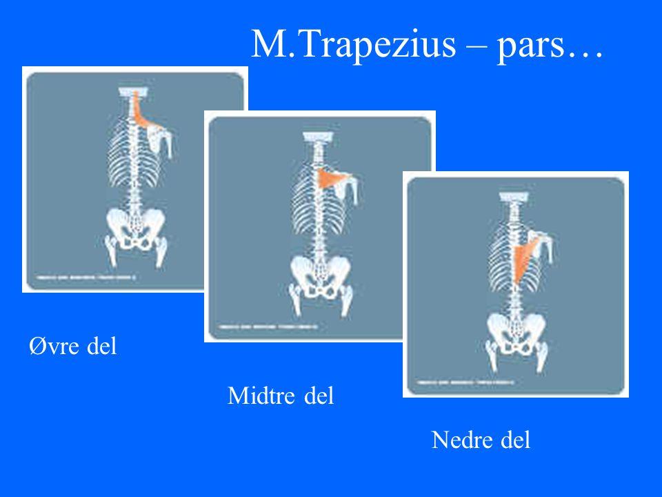 M.Trapezius – pars… Øvre del Midtre del Nedre del