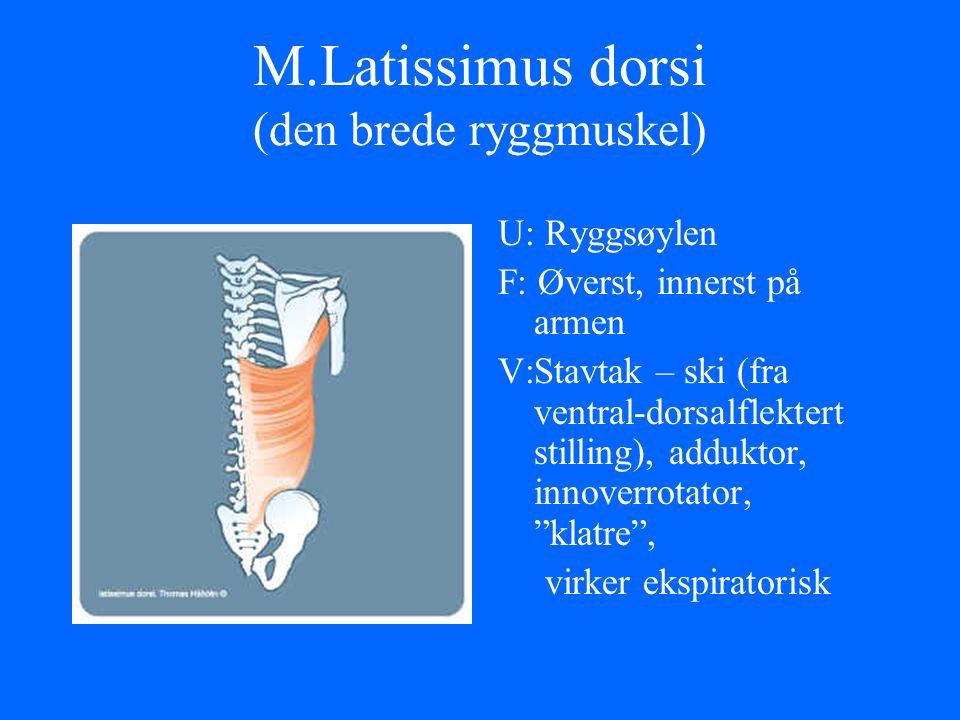M.Latissimus dorsi (den brede ryggmuskel)
