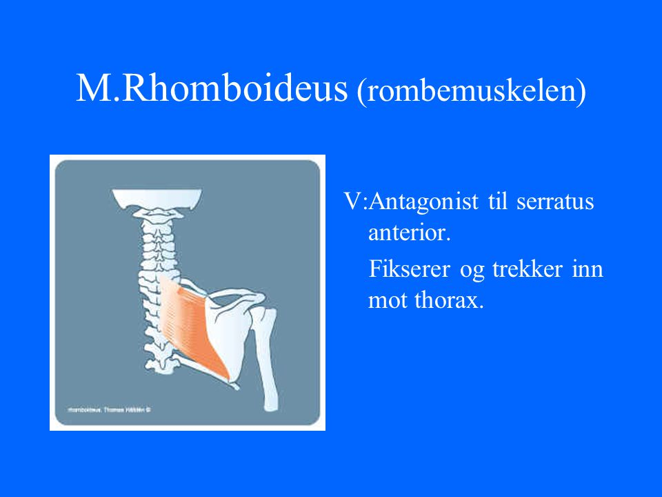 M.Rhomboideus (rombemuskelen)