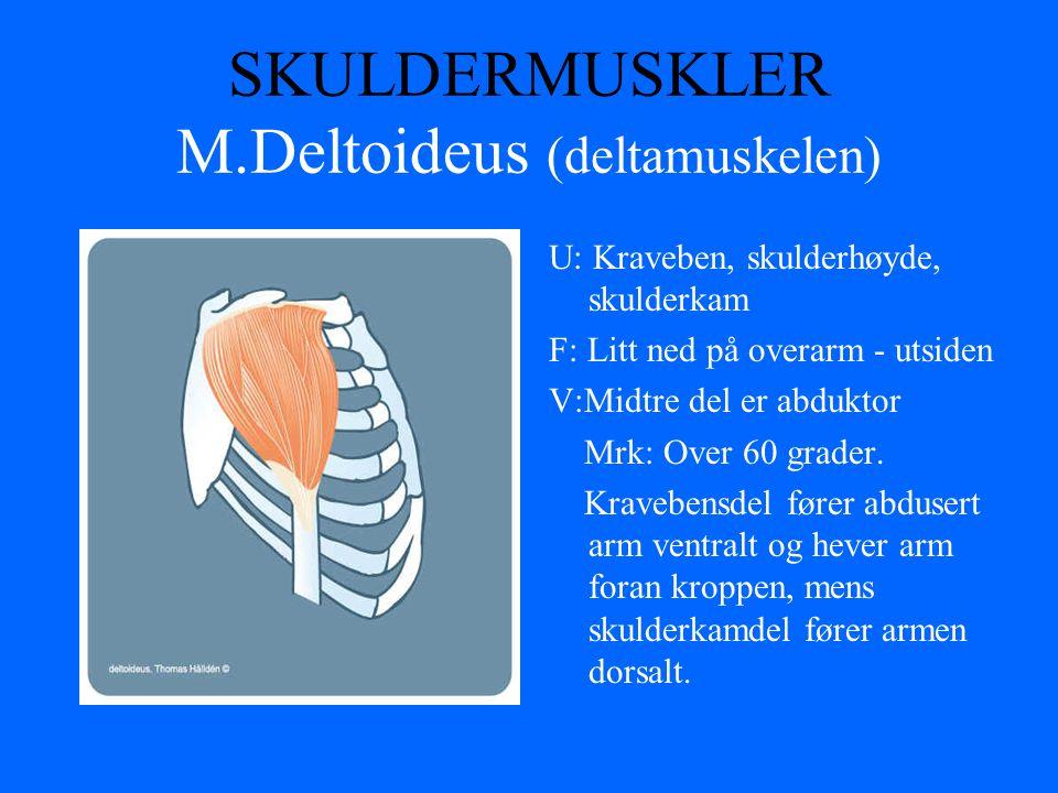 SKULDERMUSKLER M.Deltoideus (deltamuskelen)