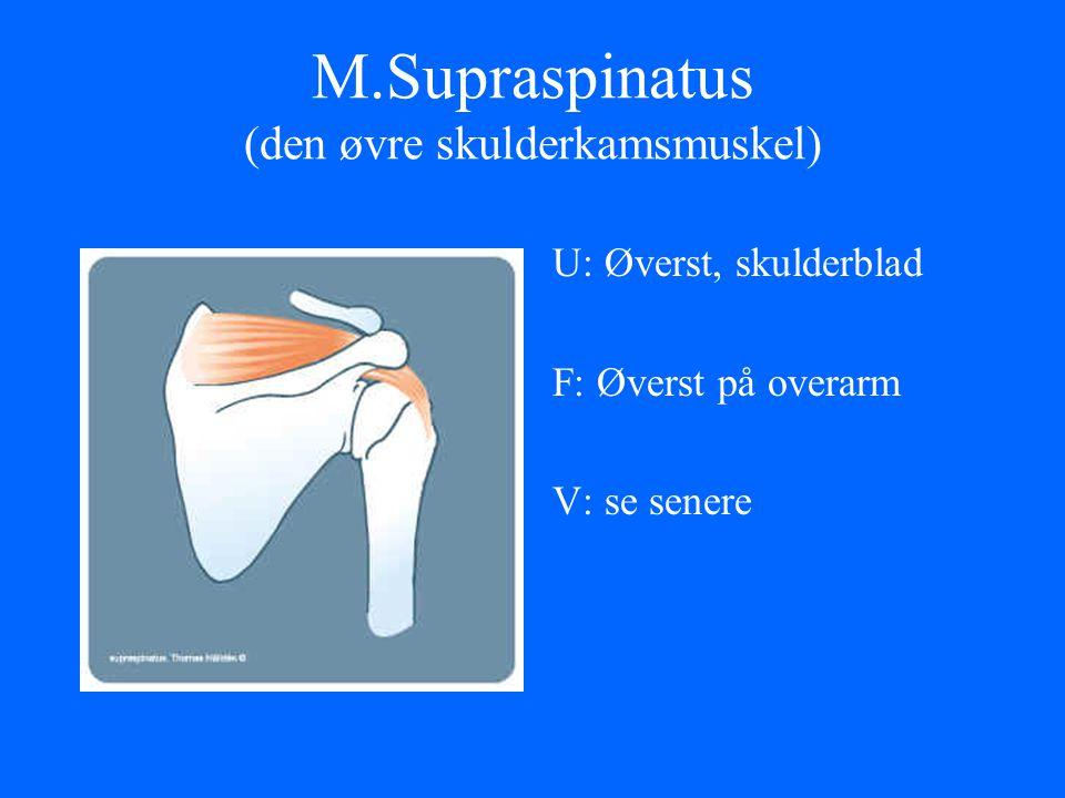 M.Supraspinatus (den øvre skulderkamsmuskel)