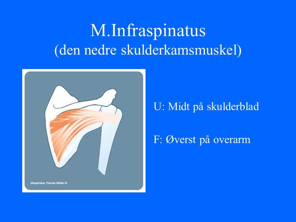 M.Infraspinatus (den nedre skulderkamsmuskel)