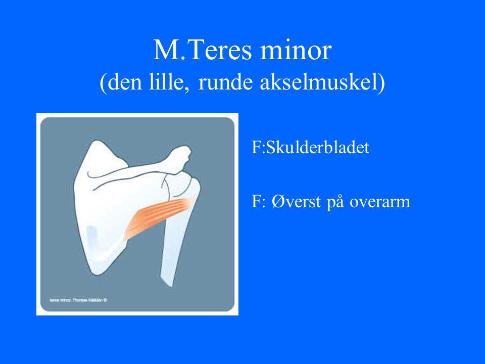 M.Teres minor (den lille, runde akselmuskel)