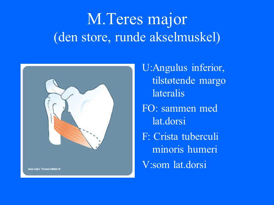 M.Teres major (den store, runde akselmuskel)