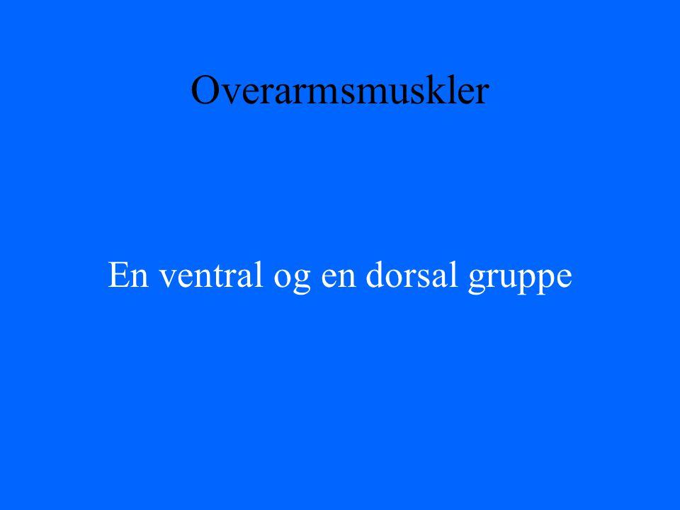 En ventral og en dorsal gruppe