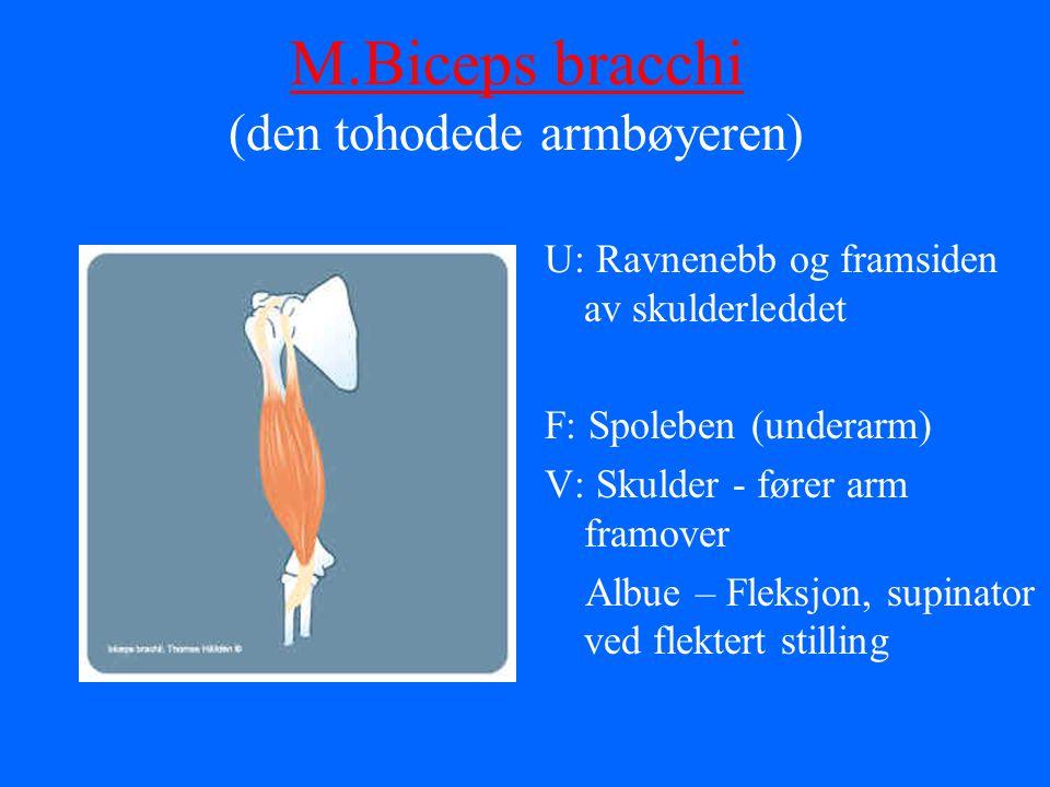 M.Biceps bracchi (den tohodede armbøyeren)