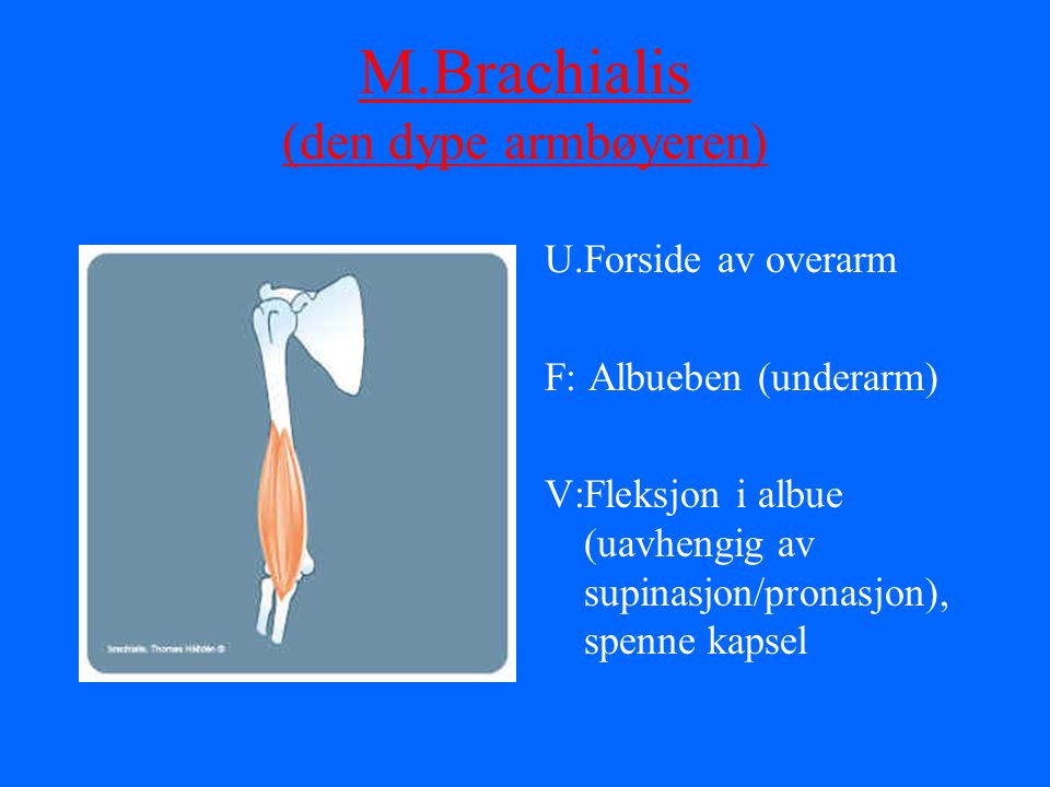 M.Brachialis (den dype armbøyeren)