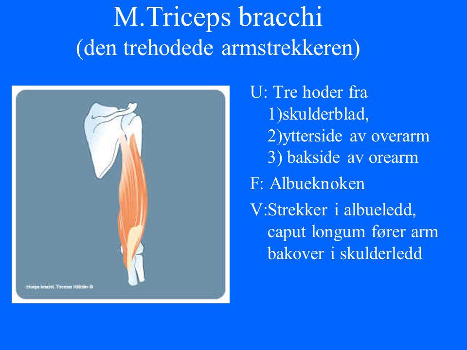 M.Triceps bracchi (den trehodede armstrekkeren)