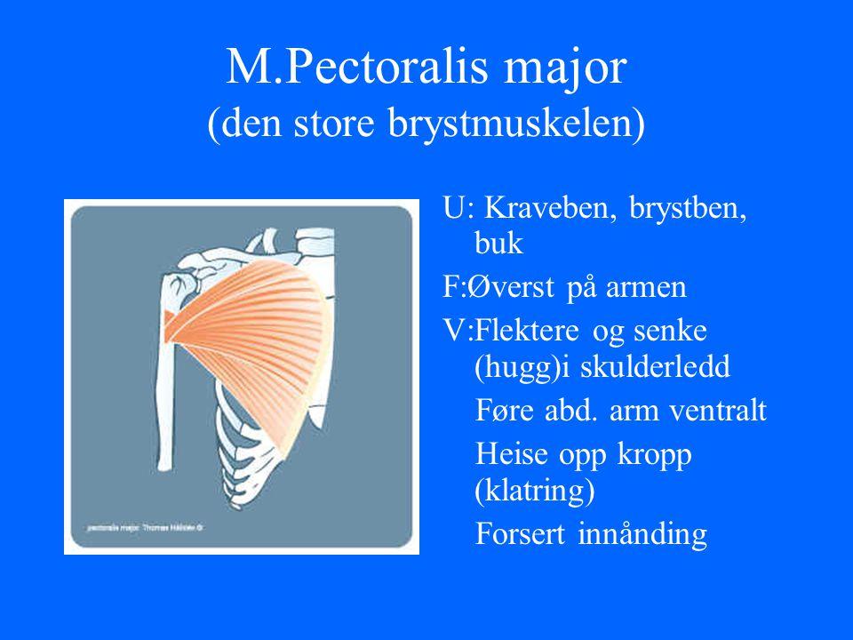 M.Pectoralis major (den store brystmuskelen)