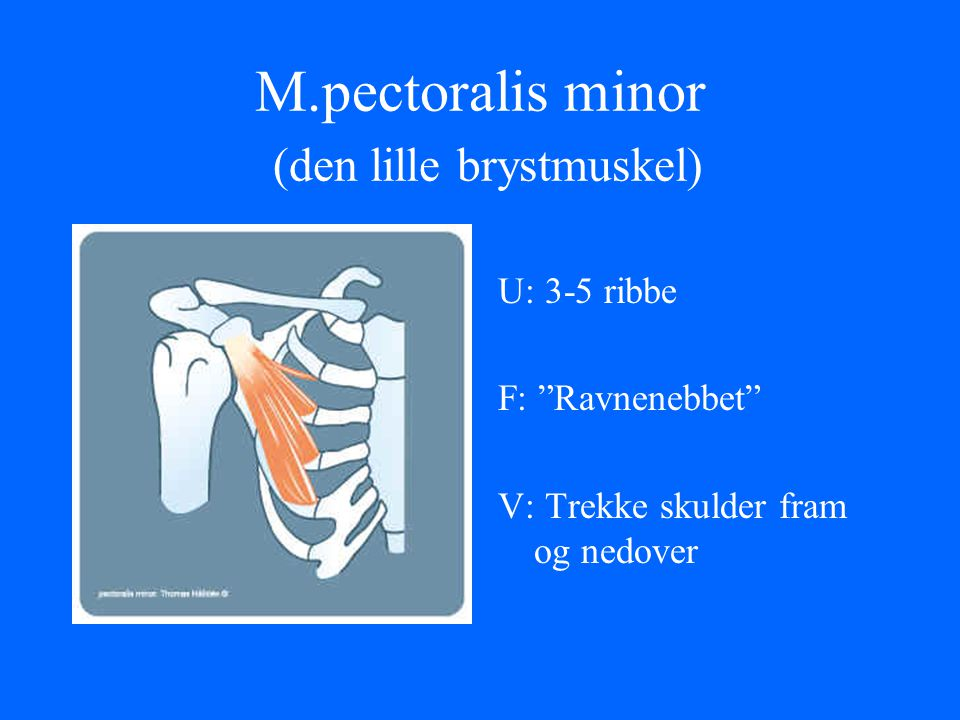 M.pectoralis minor (den lille brystmuskel)