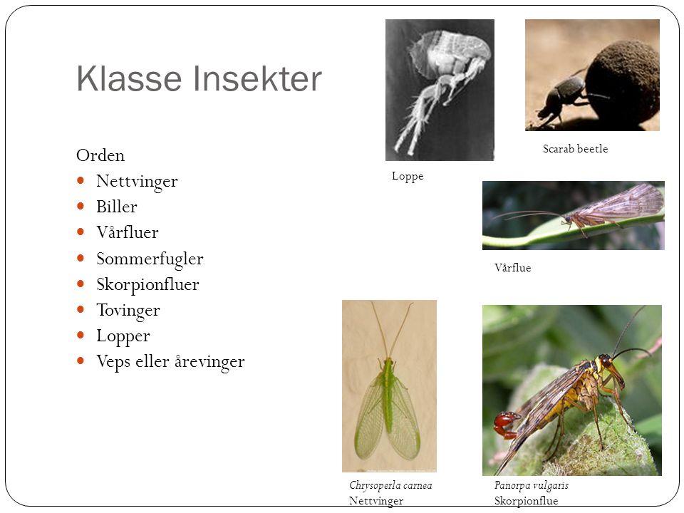 Klasse Insekter Orden Nettvinger Biller Vårfluer Sommerfugler