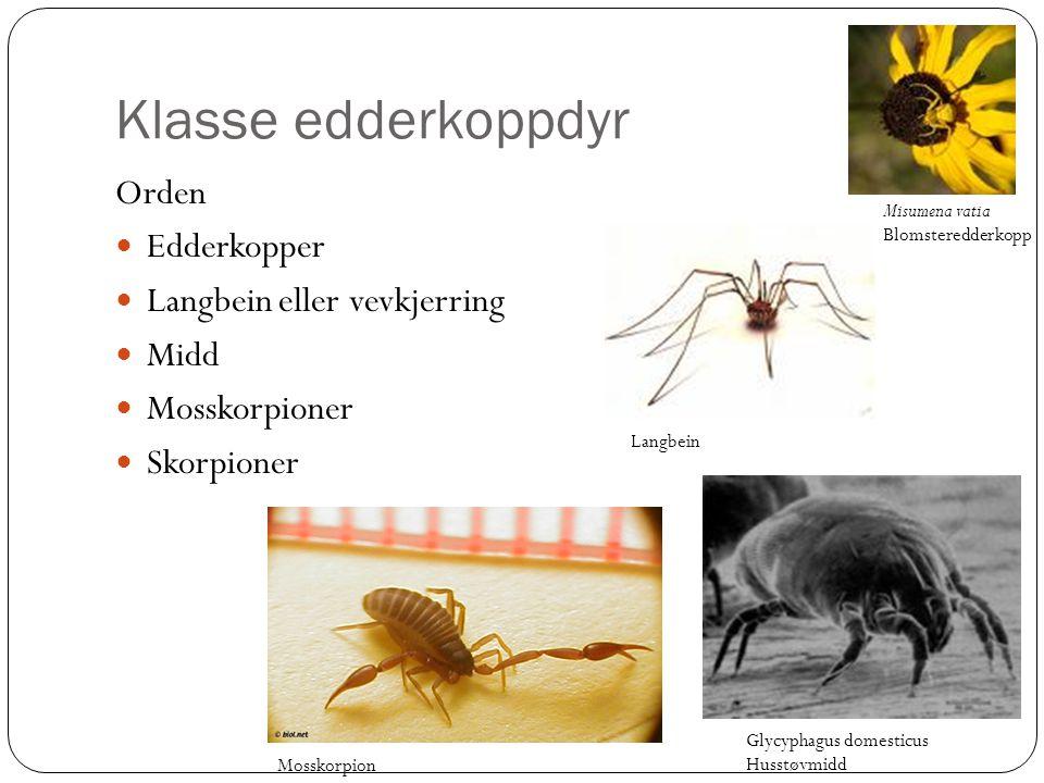Klasse edderkoppdyr Orden Edderkopper Langbein eller vevkjerring Midd