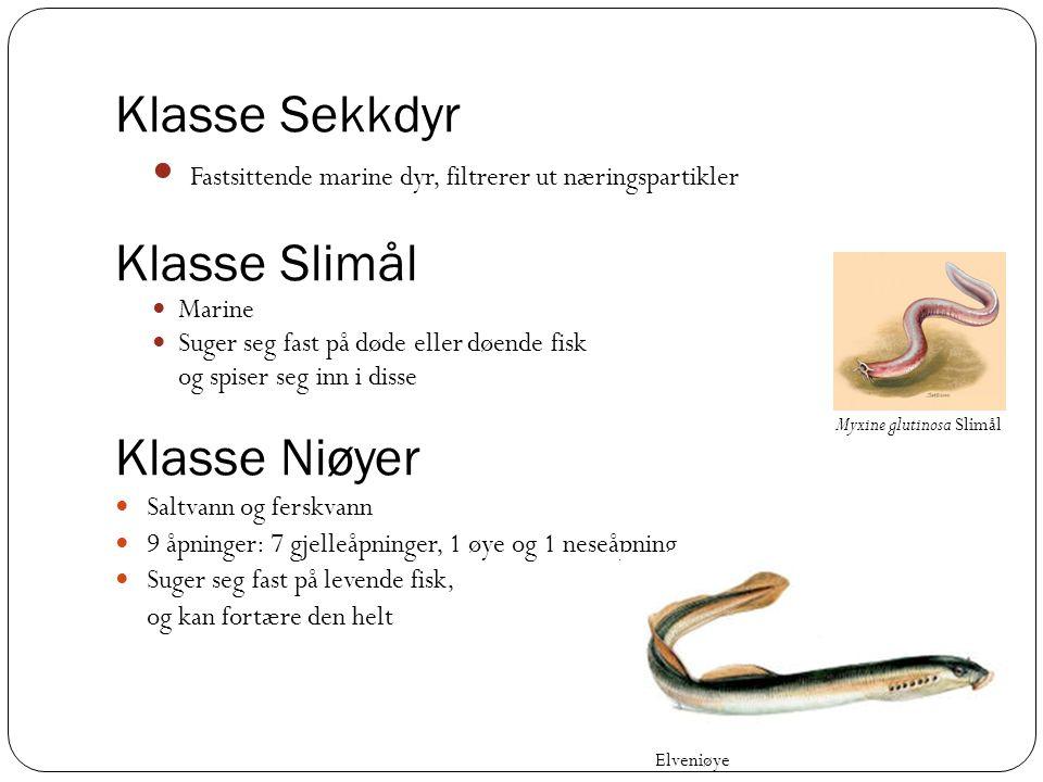 Klasse Sekkdyr Klasse Slimål Klasse Niøyer