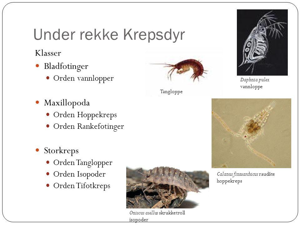 Under rekke Krepsdyr Klasser Bladfotinger Maxillopoda Storkreps