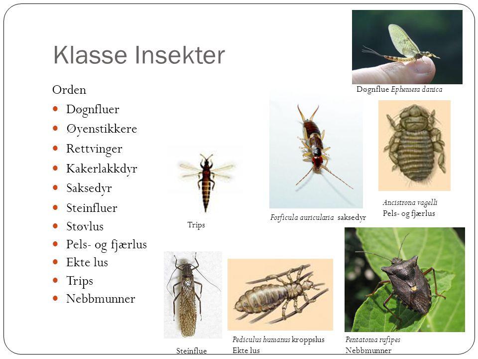 Klasse Insekter Orden Døgnfluer Øyenstikkere Rettvinger Kakerlakkdyr