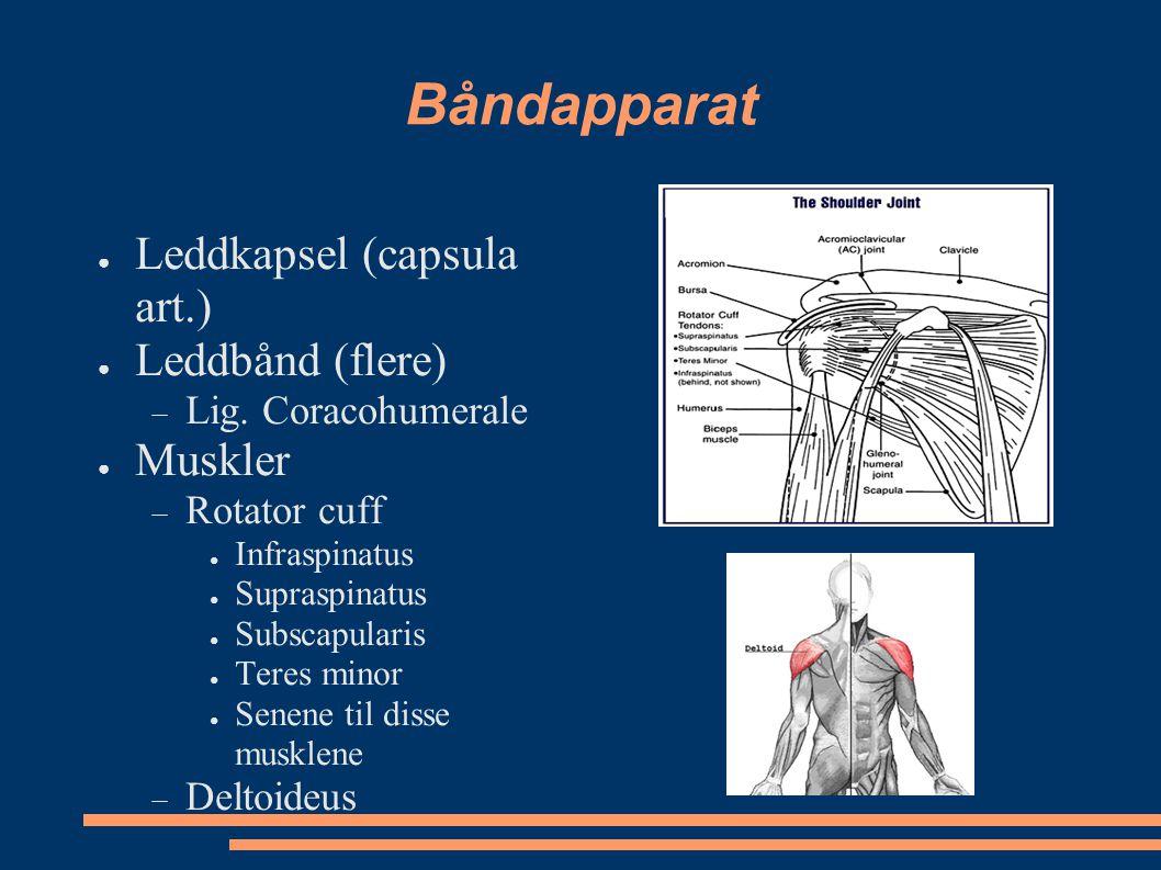 Båndapparat Leddkapsel (capsula art.) Leddbånd (flere) Muskler