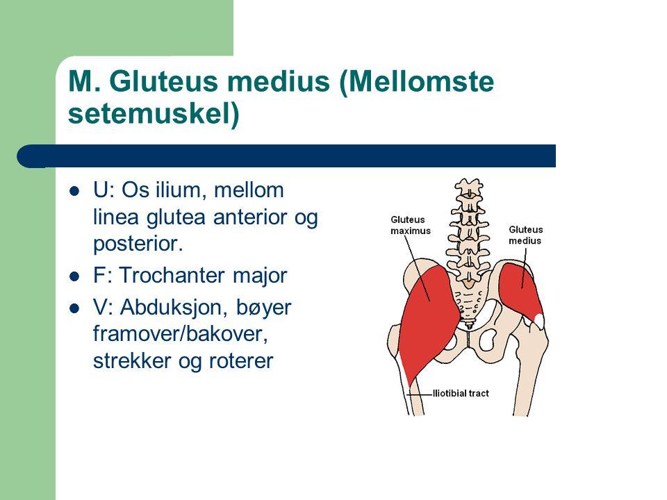 M. Gluteus medius (Mellomste setemuskel)