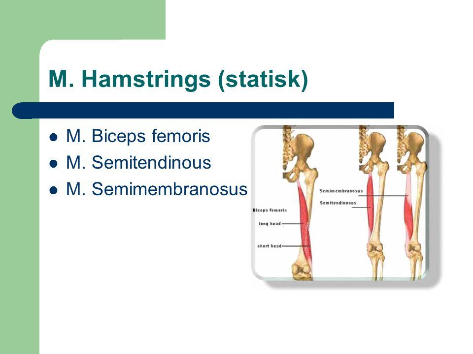 M. Hamstrings (statisk)