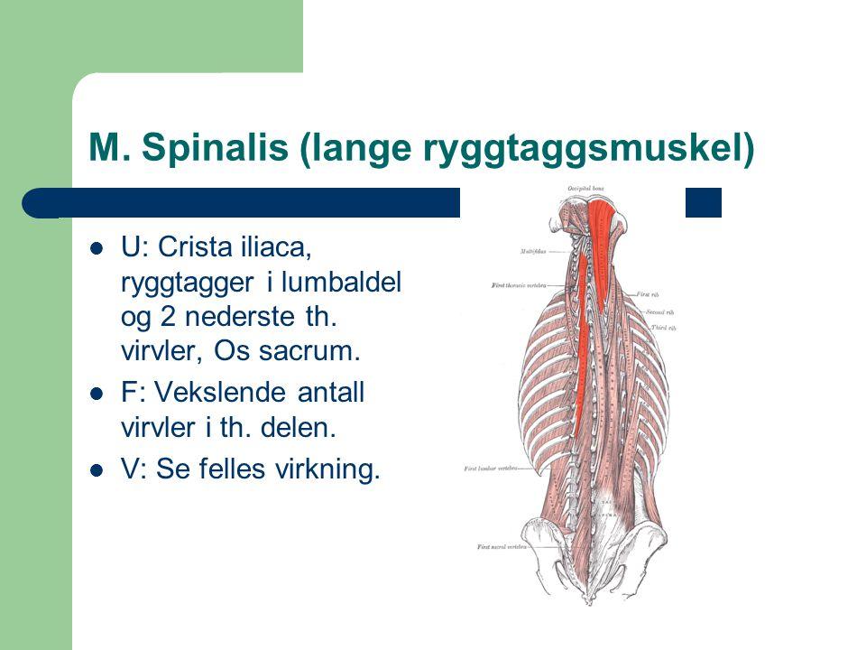 M. Spinalis (lange ryggtaggsmuskel)