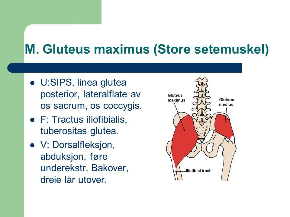 M. Gluteus maximus (Store setemuskel)