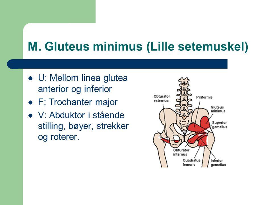 M. Gluteus minimus (Lille setemuskel)
