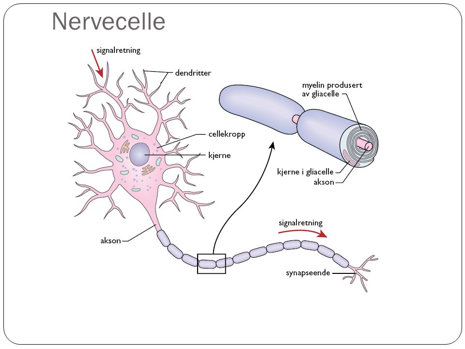 Nervecelle