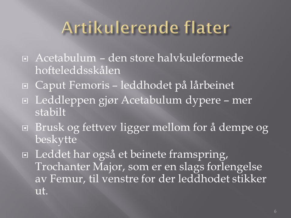 Artikulerende flater Acetabulum – den store halvkuleformede hofteleddsskålen. Caput Femoris – leddhodet på lårbeinet.