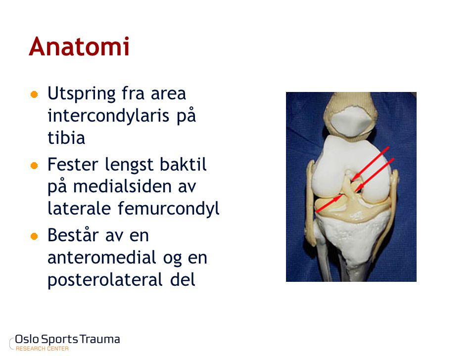 Anatomi Utspring fra area intercondylaris på tibia