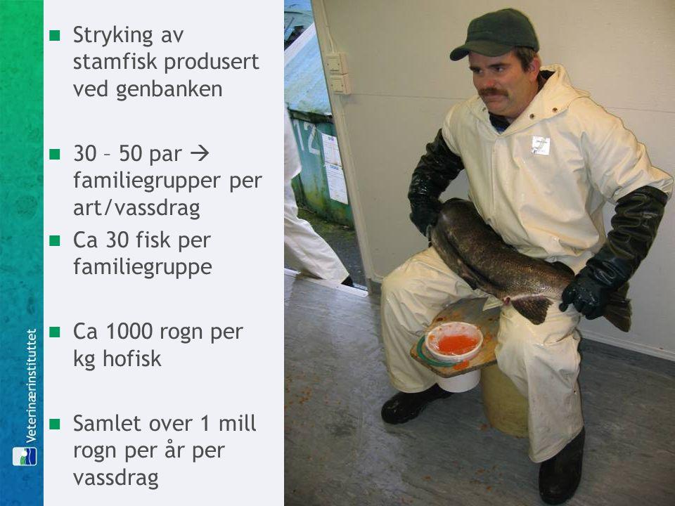 Stryking av stamfisk produsert ved genbanken