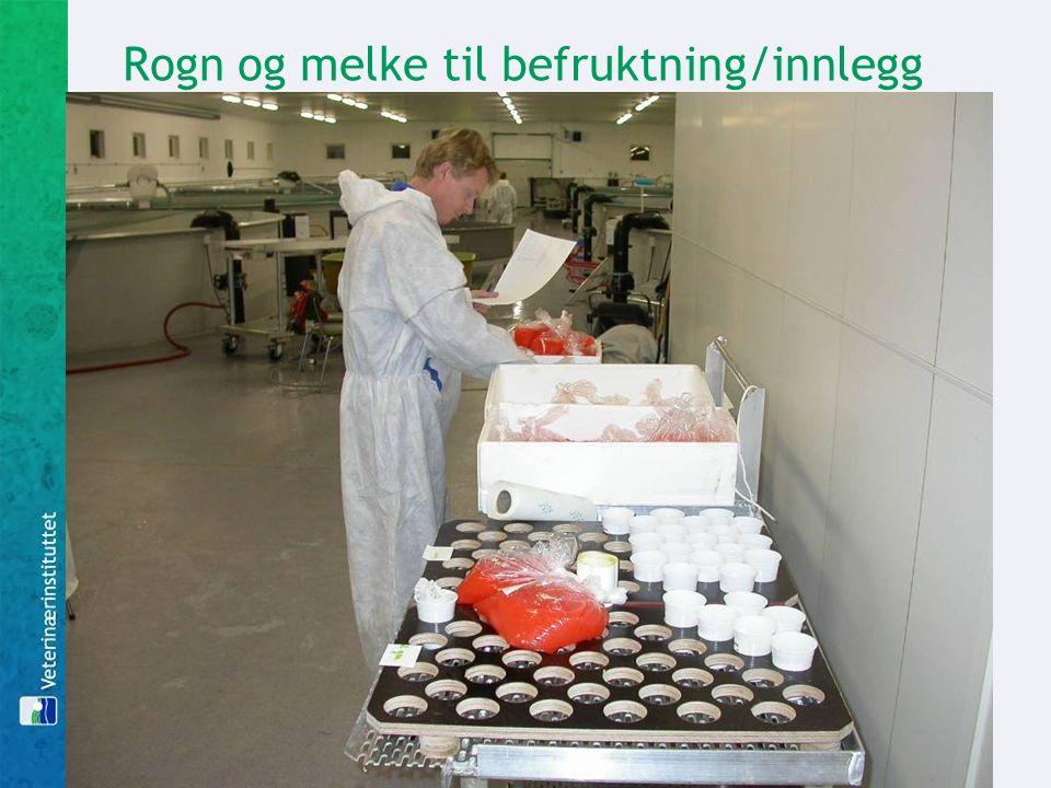 Rogn og melke til befruktning/innlegg