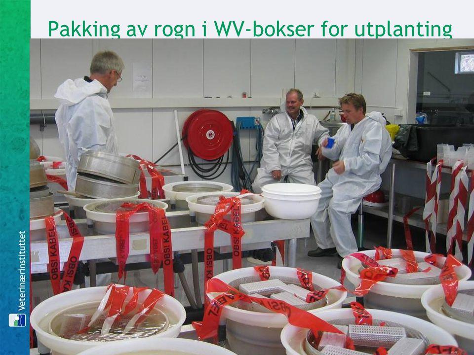 Pakking av rogn i WV-bokser for utplanting