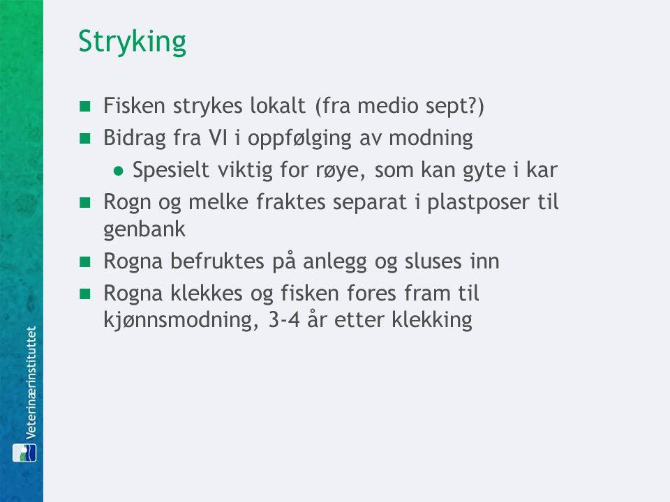 Stryking Fisken strykes lokalt (fra medio sept )